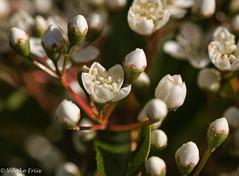 181104 082612 (Vibeke Friis) Tags: flower inmygarden macro white