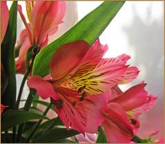 Альстрёмерия (lvv1937) Tags: цветы растение лето альстрёмерия alstroemeria peruvianlily lilyoftheincas goal
