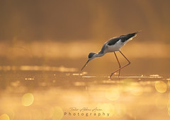 Black-winged Stilt (T@hir'S Photography) Tags: sunrise bokeh golden tone warm colors wildlife outdoor travel bird animal