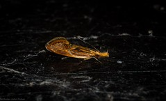 Leprocosma hoplophanes (dustaway) Tags: arthropoda insecta lepidoptera oecophoridae oecophorinae leprocosmahoplophanes australianmoths australianinsects tamborinemountain mounttamborine sequeensland queensland australia nature