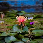 Illuminating Lotus Bloom thumbnail