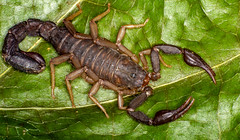 Dorsal (ScreaminScott) Tags: scorpion arachnid