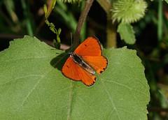 Large Copper --- Lycaena dispar (creaturesnapper) Tags: insects lepidoptera romania danubedelta europe butterflies lycaenidae largecopper lycaenadispar siteno521