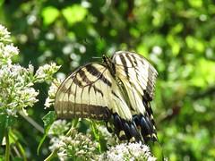 IMG_0904 (Usagi93190) Tags: tiger swallowtail butterfly insect macro proxi tampa florida lettuce lake nature outdoors