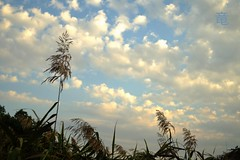 autumn grass against sunset sky (Ola 竜) Tags: grass blue sky plants skyscape grassstalk corn autumn sunset golden clouds white cloud goldenhour evening nature fujifilm velvia manualfocus vintagelens meyeropticgoerlitz warmtones weeds