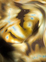 Tridacna (PacificKlaus) Tags: malapascua cebu philippines ocean underwater scuba diving nature tridacna clam mollusk invertebrate
