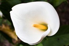 Bella (Letua) Tags: blanco cala callalily flor flores flower flowers naturaleza nature primavera spring white