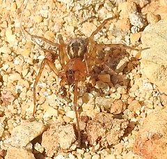 cf Amaurobius fenestralis (or A similis) amaurobiidae (BSCG (Badenoch and Strathspey Conservation Group)) Tags: acm arachnid spider sand september male