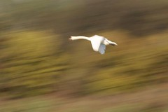 Sweet dreams (carlo612001) Tags: panning swan flying dream dreaming flyingshot shootinginnature shooting nature inflight birds cigno sogno movimento