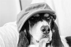 three with a cap - Kelly (andaradagio) Tags: andaradagio bianconero bw canon dog cane miglioramicodelluomo nadiadagaro