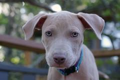 New puppy (Anna Peterson) Tags: pentax pentaxk3 pentaxfa43f19ltd puppy pitbull americanpitbullterrier rescuedog
