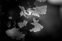 Gingko biloba (mellting) Tags: eskilstuna nikond500 platser rothfossparken bloggad flickr instagram matsellting mellting nikkor5018 nikon sverige sweden gingkobiloba gingko monochrome tree blackandwhite bnw leaves
