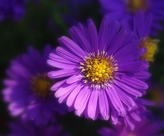 Aster violet (mamietherese1) Tags: earthmarvels50earthfaves world100f ngc npc artisticflowers macroflowerlovers wonderfulworldofflowers itsallaboutflowers floralessence