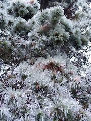 Ice storm pine needles (GardenOfEarthlyDelights) Tags: canada ontario places thorncliffepark toronto freezingrain ice icestorm