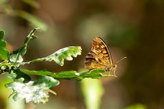 (Jérôme_M) Tags: canon eos 600d sigma 150600 nature insecte bokeh proxy aquitaine landes seignanx saintmartindeseignanx papillon butterfly natgeo natimages lemondedelaphoto wildlife automne