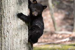 Black Bear Cub (av8s) Tags: blackbear bear cub nature wildlife photography nikon d7100 sigma 120400mm pennsylvania pa