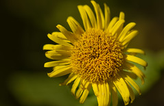 A Dandy Dandelion. (creativegaz) Tags: flower dandelion weed common yellow texture macro nature