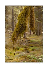 Moss (Krasne oci) Tags: moss forest trees nature pacificnorthwest washingtonstate mountains evergreen evabartos painterly artphotography fineart green les mech