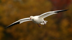 Oie des neiges \ Snow Goose (Alain Daigle) Tags: oiedesneiges snowgoose