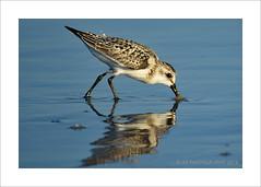 Fishing (prendergasttony) Tags: wader nikon d7200 atlantic beach water blue feet beak jacksonville feathers nature wildlife ocean