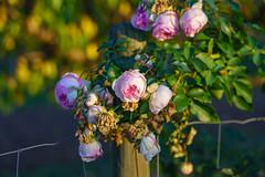everything beautiful has an end (skp-mm) Tags: blume rose garten makro golden herbst autumn