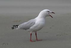 Silver Gull (Jenny Thynne) Tags: gull bird silvergull chroicocephalusnovaehollandiae adventurebay brunyisland tasmania