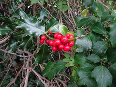 Holly, St Dial's Road, Greenmeadow, Cwmbran 19 October 2018 (Cold War Warrior) Tags: holly greenmeadow cwmbran