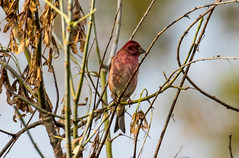 7K8A8384 (rpealit) Tags: scenery wildlife nature hyper humus purple finch bird