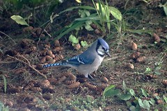 Blue Jay Near Spruce Cones 003 - Cyanocitta Cristata (Chrisser) Tags: birds bird jays jay bluejays bluejay cyanocittacristata nature ontario canada canoneosrebelt6i canonef75300mmf456iiiusmlens corvidae