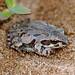 Illinois Chorus Frog (Pseudacris illinoensis)
