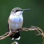 0291e2 hummingbird close-up  **Explore** thumbnail