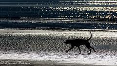 contre jour hound (RCB4J) Tags: ayrshire clydecoast firthofclyde irvinebeach jakob rcb4j ronniebarron scotland sonyslta77v sonydt18250mmf3563 art babygrace dobermanterrier dogs photography play sand sea siameselurcher trailhound contrejour hound onbeach silhouette