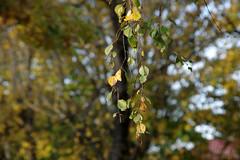 Kask (Jaan Keinaste) Tags: pentax k3 pentaxk3 eesti estonia loodus nature kask birch sügis autumn