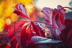 colors of autumn (alex_bruskov) Tags: bokeh bokehlicious yellow dof red leaves colors
