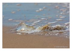 Jellyfish (Joao de Barros) Tags: joão barros jellyfish animal