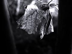IMG_6585 (ALEKSANDR RYBAK) Tags: монохромный макро крупный план листья виноградные чёрное белое свет тень monochrome macro closeup leaves grape black white shine shadow