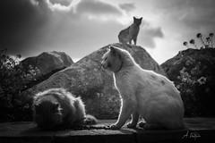 Port crew (agnieszkawojcik) Tags: bw bnw blackandwhite blackwhite cat cats animal rock nature stray straycats canon canon70d amorgos greece cyclades aegiali island noiretblanc scenery sky flickr