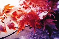 How beautifully (gusdiaz) Tags: autumn fall nature naturephotography fuji fujifilm leaves hojas hoja leaf foliage red colorful sunset atardecer sunrise amanecer hermoso beautiful otoño cold frio season estacion vsco vscocam