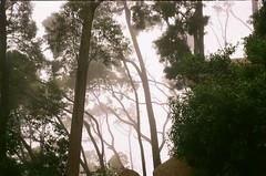 (szmenazsófi) Tags: smenasymbol lomo smena analog analogue film 35mm porugal sintra forest fog foggy trees wood dreamy jungle green outdoor nature