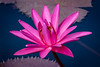 Vibrant Pink (tresed47) Tags: 2018 201808aug 20180809longwoodflowers august canon7dmkii chestercounty content flowers folder lily longwoodgardens macro pennsylvania peterscamera petersphotos places season summer takenby technical us waterlily