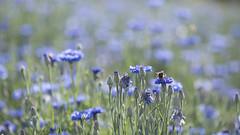 Plein été ** (Titole) Tags: cornflowers shallowdof titole nicolefaton bumblebee 10000000 summer unanimouswinner thechallengefactory
