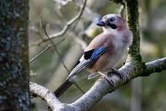 Jay (monty689) Tags: jay garrulus garralusglandarius bird corvid corvidae pink blue woodland wood forest wildlife nature passerine anglesey