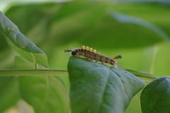 Schlehen Bürstenspinner Raupe (Aah-Yeah) Tags: schlehenspinner bürstenspinner vapourer orgyia antigua raupe caterpillar achental chiemgau bayern