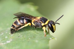 Hylaeus pictus male 1 (iancrossbadgers) Tags: hylaeus pictus male