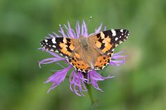 Vanessa cardui (fabriciodo2) Tags: vanessacardui papillon nature macro dolomites tamron100400