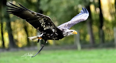 Weißkopfseeadler (hansjrgenknppel) Tags: greifvogel weiskopfseeadler nikon d 850 germany deutschland hansjuergen knueppel nikkor 70200mm