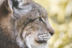 Look at that (Soren Wolf) Tags: lynx lynxes looking eye close up short depth off field dof bokeh yellow zoo wrocław wroclaw nikon d7200 300mm portrait profile