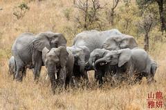 2018 - Venturers Tanzania - Day 4 (28th Vancouver Scout Group) Tags: 28thkitsilanoscoutgroup 28thvancouverscoutgroup africanelephant africanwildcatsexpeditions africanbushelephant loxodontaafricana safari scouts scoutscanada serengetinationalpark tanzania tanzaniaexpedition2018 venturerscouts venturers elephant mammal simiyu tz