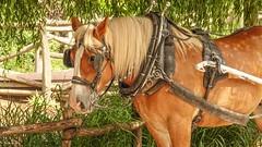 Horse - 5951 (ΨᗩSᗰIᘉᗴ HᗴᘉS +23 000 000 thx) Tags: hff fence fences happyfencefriday horse animal pairidaiza hensyasmine namur belgium europa aaa namuroise look photo friends be wow yasminehens interest intersting eu fr greatphotographers lanamuroise