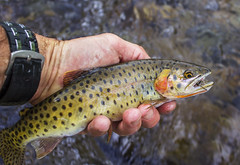 Colorful Colorado Cutthroat Trout Caught Fly Fishing (Ray Redstone) Tags: coloradocutthroattrout flyfishing flyfishingcolorado telluride fishing sanmiguelriver alpine coloradolandscape beautifulfish catchrelease